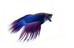 Peixes Siamese da luta Fotos de Stock