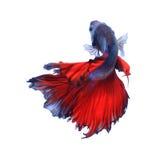 Peixes Siamese da luta, betta isolados no fundo branco imagens de stock royalty free