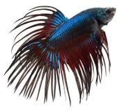 Peixes Siamese da luta. Betta Splendens Foto de Stock Royalty Free