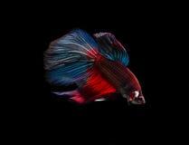 Peixes Siamese da luta (Betta Splendens) Foto de Stock
