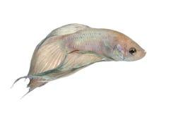 Peixes Siamese da luta - Betta Splendens fotografia de stock royalty free