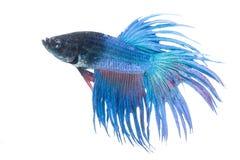 Peixes Siamese da luta no fundo branco imagens de stock royalty free