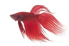 Peixes Siamese vermelhos da luta imagem de stock