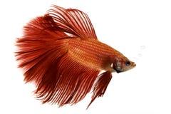 Peixes Siamese vermelhos da luta Fotografia de Stock