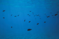 Peixes subaquáticos Imagens de Stock Royalty Free