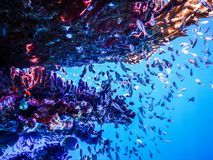 Peixes subaquáticos da ilha de Indonésia Menjangan fotos de stock