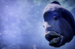 Peixes subaquáticos dos animais selvagens Imagens de Stock