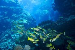 Peixes no recife de corais subaquático Fotografia de Stock Royalty Free
