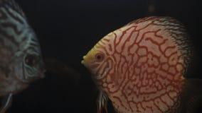 Peixes Symphysodon Aequifasciatus do disco no aquário filme