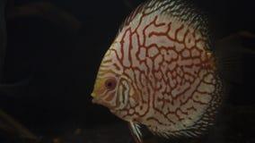 Peixes Symphysodon Aequifasciatus do disco no aquário video estoque