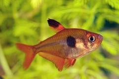 Peixes Tetra Imagem de Stock