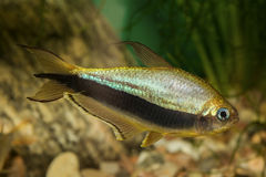 Peixes Tetra com listra preta Foto de Stock