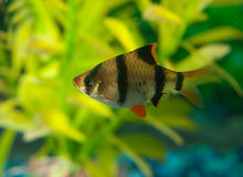 Peixes Tetra da zebra Fotos de Stock Royalty Free