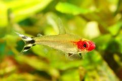 Peixes Tetra de Rummynose Foto de Stock