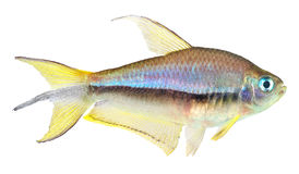 Peixes Tetra do imperador Imagem de Stock