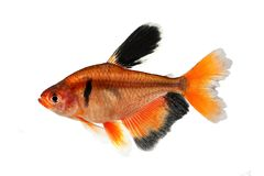Peixes Tetra Finned longos do aquário dos eques de Serpae Barb Hyphessobrycon imagens de stock royalty free