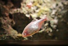 Peixes tetra mexicanos do aquário da caverna cega fotos de stock