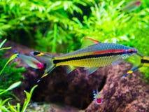 Peixes tetra pequenos e coloridos que nadam no aquário, cor de prata com as listras pretas, amarelas e vermelhas fotos de stock