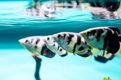 Peixes Tetra pretos Imagem de Stock