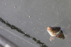 Peixes travado no gancho Imagem de Stock