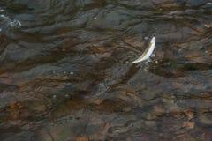 Peixes travados do timalo Fotos de Stock Royalty Free