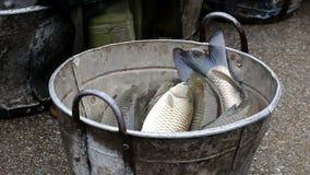 Peixes travados em uma cubeta video estoque