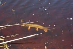 Peixes travados na água vermelha Fotografia de Stock Royalty Free
