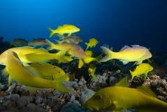 Peixes tropcial amarelos imagens de stock royalty free