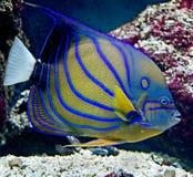 Peixes tropicais 23 foto de stock