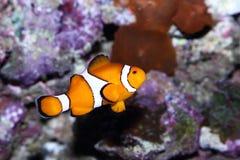 Peixes tropicais Imagens de Stock