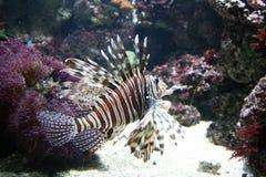 Peixes tropicais Fotografia de Stock Royalty Free