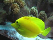 Peixes tropicais amarelos Fotos de Stock Royalty Free