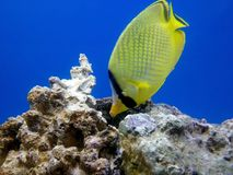 Peixes tropicais amarelos foto de stock royalty free