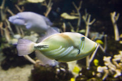 Peixes tropicais amarelos e brancos fotos de stock