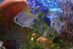 Peixes tropicais - aquário do Pacífico Imagem de Stock