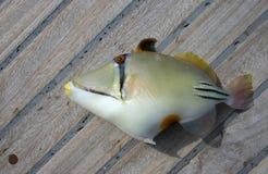 Peixes tropicais bonitos do Mar Vermelho Imagens de Stock Royalty Free