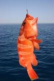 Peixes tropicais bonitos do Mar Vermelho Foto de Stock