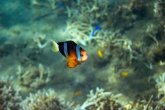 Peixes tropicais Clownfish no litoral Foto subaquática dos peixes corais fotos de stock royalty free