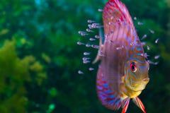 Peixes tropicais coloridos Imagem de Stock Royalty Free