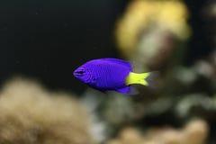 Peixes tropicais coloridos Imagem de Stock