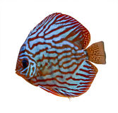Peixes tropicais coloridos do disco Imagem de Stock