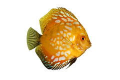 Peixes tropicais coloridos do disco de Symphysodon isolados Imagens de Stock