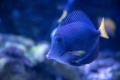 Peixes tropicais da borboleta dos peixes dos peixes decorativos fotos de stock