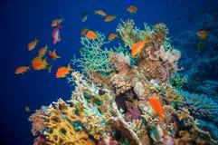 Peixes tropicais de Anthias com corais líquidos do fogo fotografia de stock