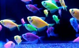 peixes tropicais de néon imagem de stock