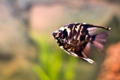 Peixes tropicais do anjo Imagem de Stock Royalty Free