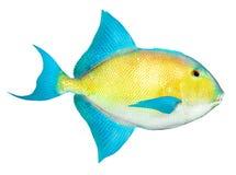 Peixes tropicais do mar do Cararibe. Imagens de Stock Royalty Free