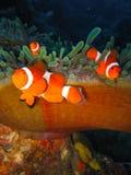 Peixes tropicais do palhaço foto de stock