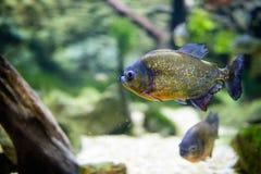 Peixes tropicais do piranha imagens de stock