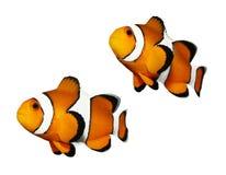 Peixes tropicais do recife fotos de stock royalty free